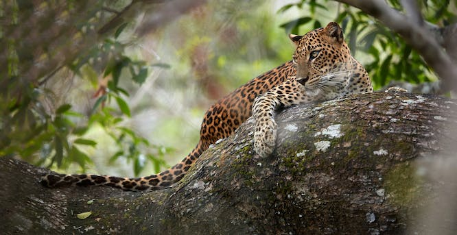 leopard hunting Wilpattu national park