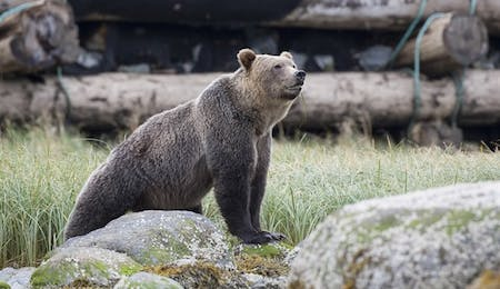 Grizzly Bear at Knight Inlet