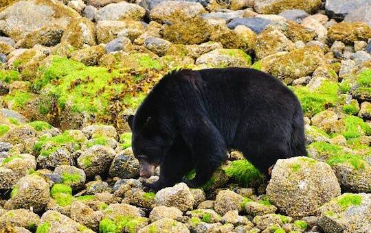 Black Bear Viewing in Tofino