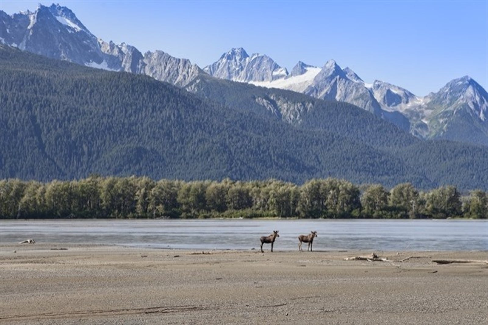 Young Moose on The Chilkat River, Alaska
