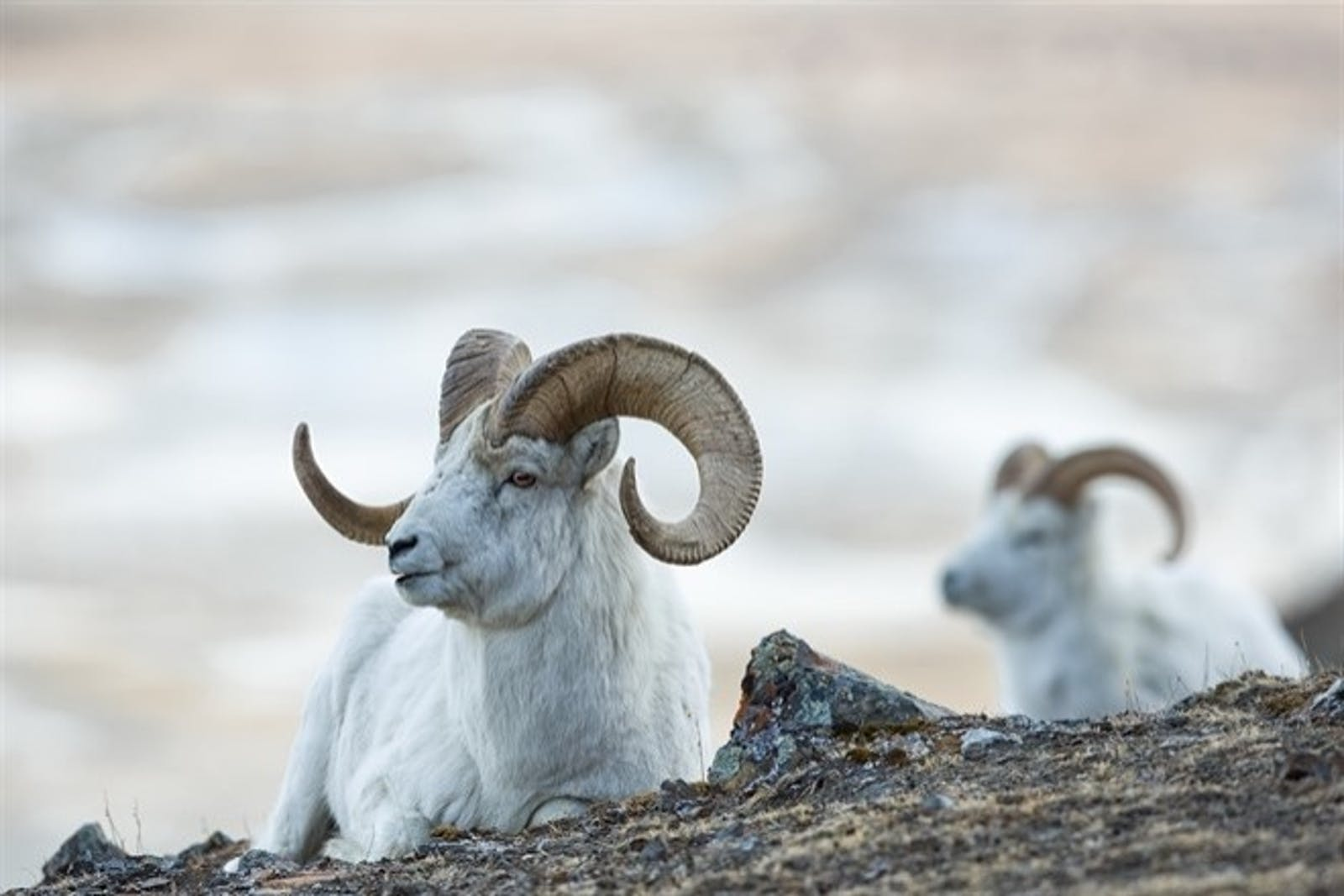 Dall Sheep on The Mountain Slopes Of Kluane National Park
