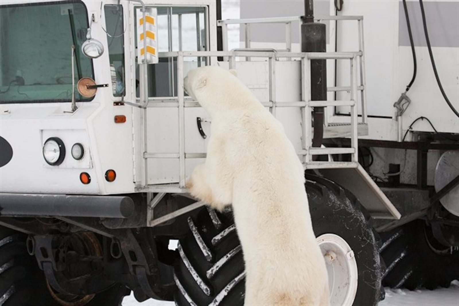 Polar Bear Looking in To A Tundra Buggy®