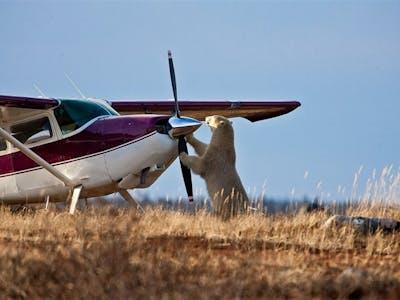 Polar Bear Meets Plane - Photo by R. Voliva