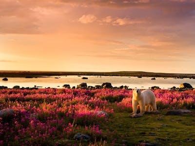 Polar bear - Photo by Michael Poliza