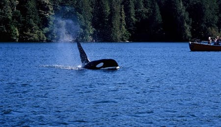 Tofino Whale-Watching - Photo Credit / Credit - Destination BC Adrian Dorst