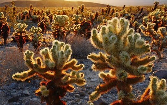 Cholla Cactus Garden at Joshua Tree National Park