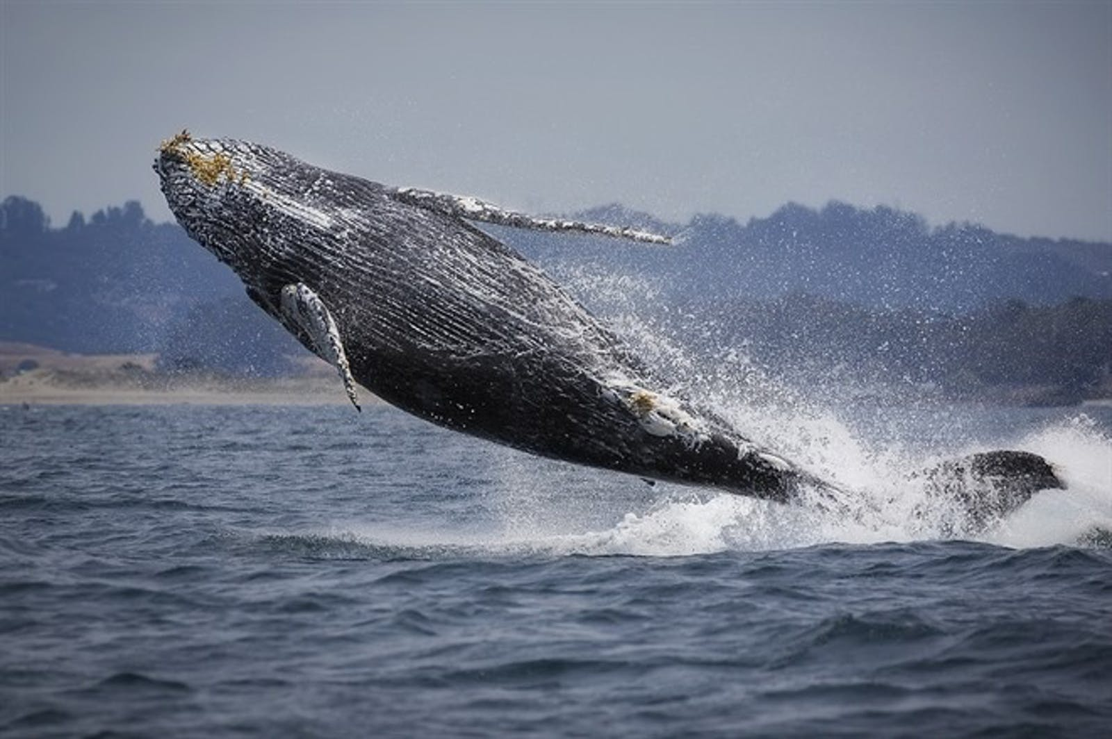 Breaching Humpback Whale In Monterey Bay