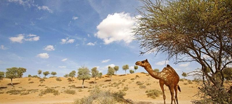 Camel onsite