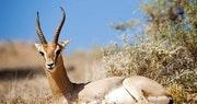 Desert Oryx