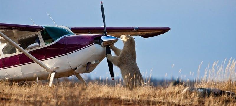 Polar Bear Meets Plane - Photo Courtesy of R. Voliva