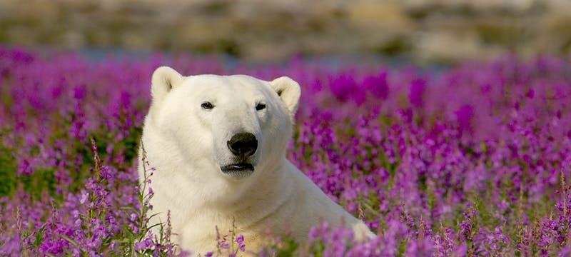 Polar Bear - Photo Courtesy of Dennis Fast