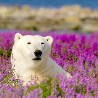 Polar Bear - Photo Courtesy of Dennis Fast