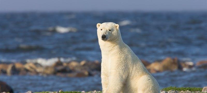 Polar Bear - Photo Courtesy of M. Poliza