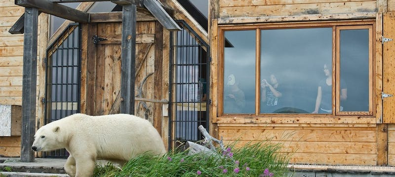 Polar Bear Outside Seal River Heritage Lodge - Photo by Dennis Fast