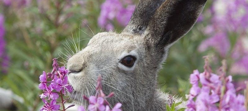 Arctic Hare - Photo Courtesy of M. Breiter