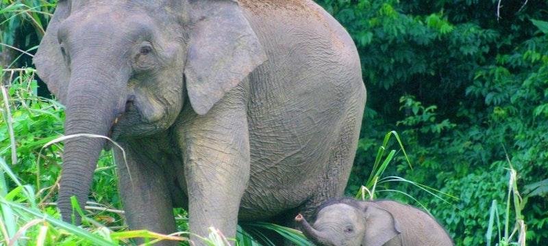 Pygmy elephants of Kinabatangan