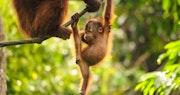 Sepilok's Orangutans
