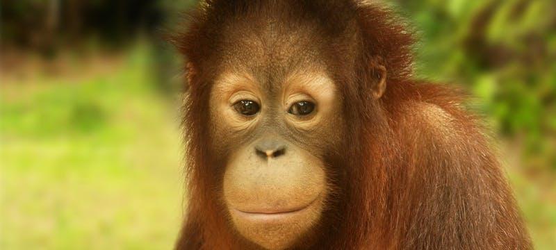 Oranutan Borneo