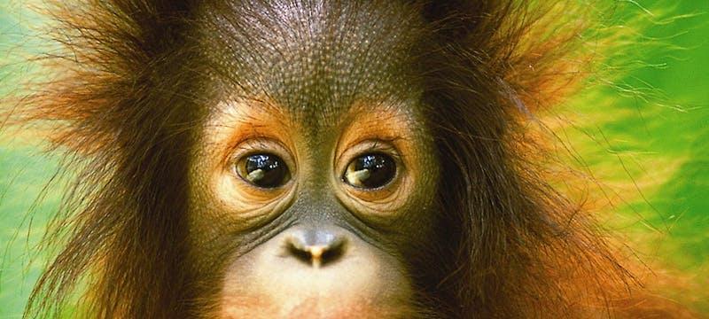 Cheeky Borneo Orang Utan