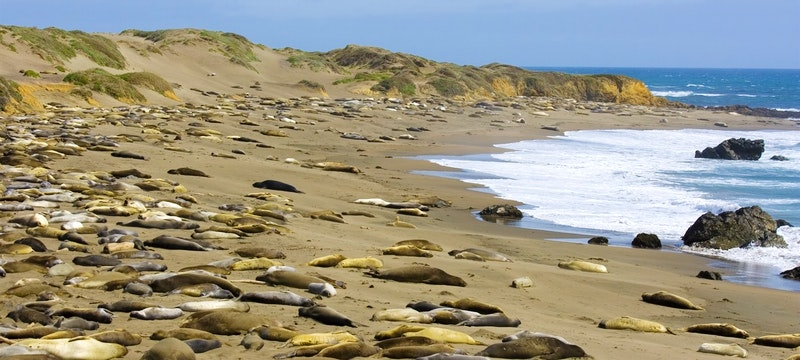 Elephant Seals On The Big Sur