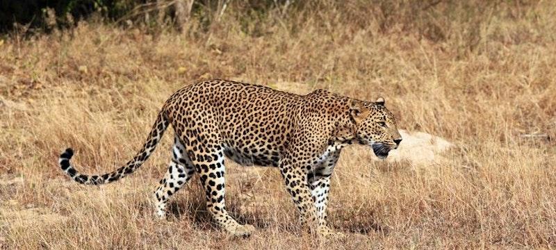Leopard, Yala National Park