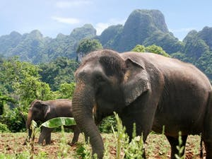 Resident Elephants  at Elephant Hills Jungle Safari