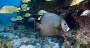 Gray Angelfish, Key Largo
