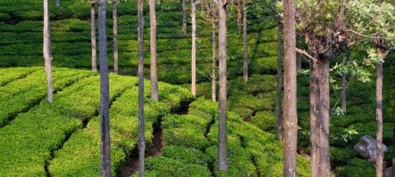Tea Plantations in Ooty