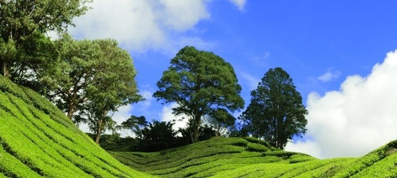 Tea growing hills of Munnar