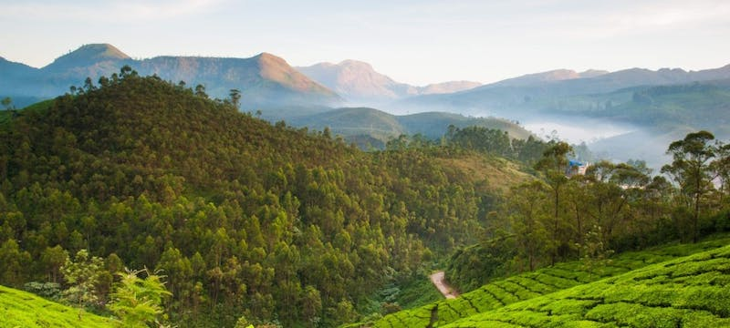 Tea Field in Munnar
