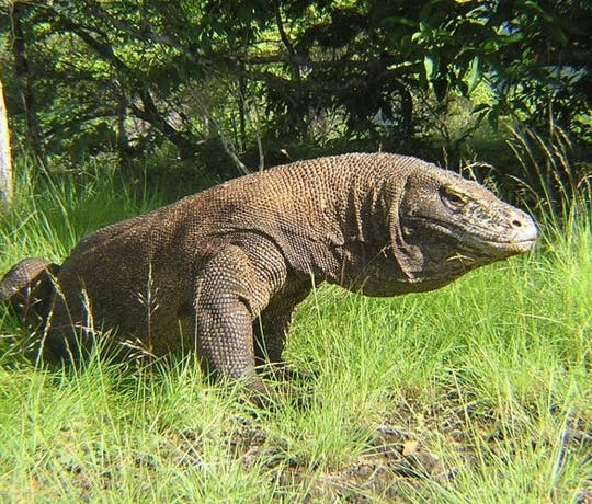 Komodo Dragon Exploration