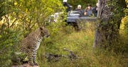 Leopard And Safari Vehicle at Lion Sands River Lodge, South Africa