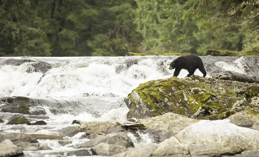 The Great Bear Rainforest, Canada