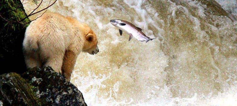 Spirit Bear - Photo by Phil Charles