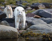 Spirit Bears - Photo by Cael Cook