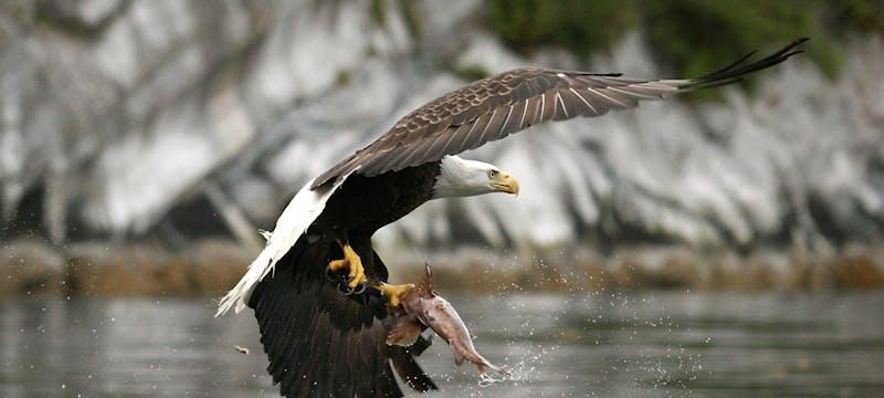 Eagle Catching Salmon - Photo by Doug Neasloss