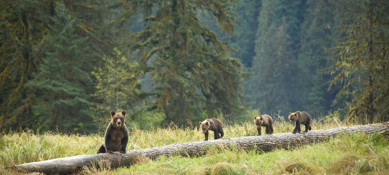 Bears On Log - Photo by Cael Cook