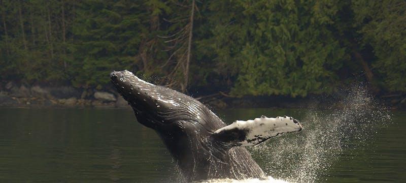Humpback Whale - Photo by Douglas Neasloss