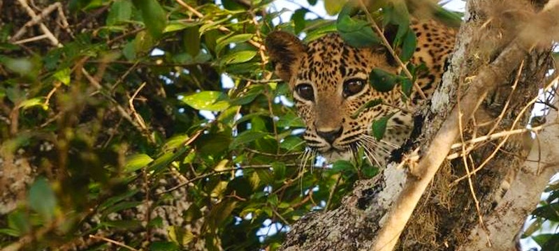 Young Leopard Yala