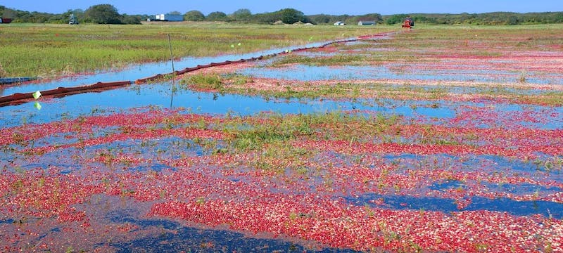 Cranberry bog, Martha's Vineyard