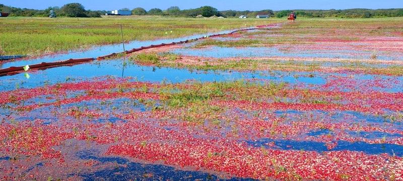 Cranberry bog, Martha's Vineyard