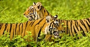 Bengal Tiger, Ranthambore National Park