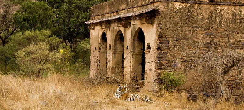 Tiger and Ruins, Ranthambore