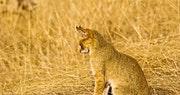 Jungle Cat, Ranthambore