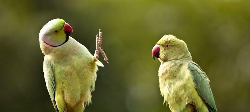 Rose Ringed Parakeet, Ranthambore