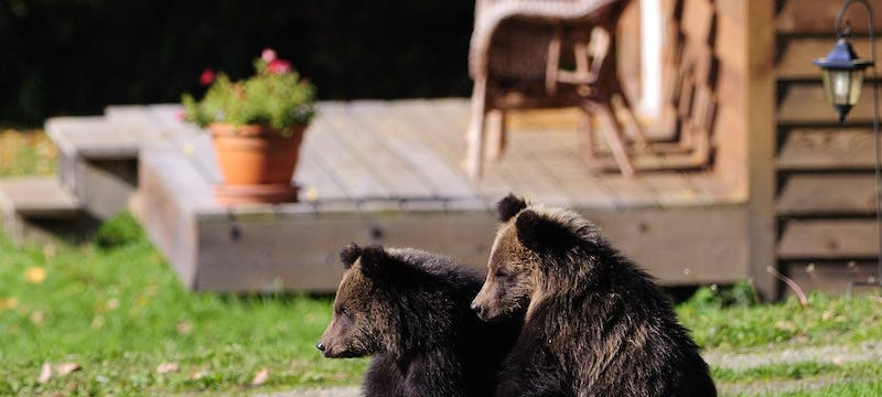 Grizzly Bear Cubs at Tweedsmuir Park Lodge - Photo by Mike Wigle